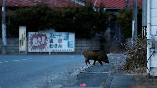 Contrariamente a lo que ocurría antes, ahora los jabalíes atacan a los residentes. Es por eso que las autoridades temen que sean contaminados con radiactividad (Reuters)