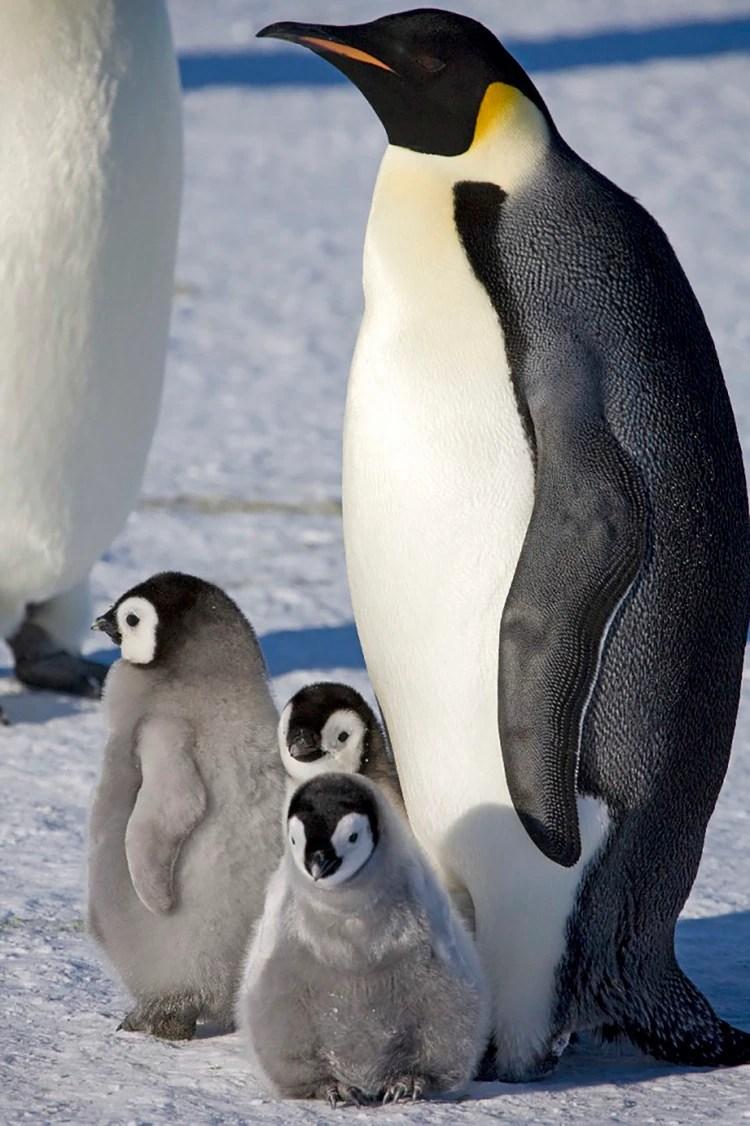Pingüino emperador. Recientemente murieron miles de crías de esta especie en la Antártida porque se derritió su hábitat