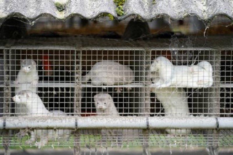 Visones en una granja criadero en Dinamarca (Ritzau Scanpix/Mads Claus Rasmussen via REUTERS)