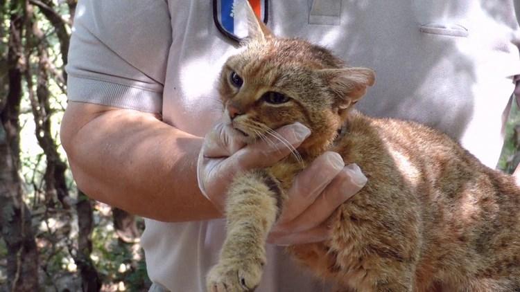 """A esta especie se le podría considerar como """"el tatarabuelo del gato doméstico europeo"""". (Foto: AFP)"""