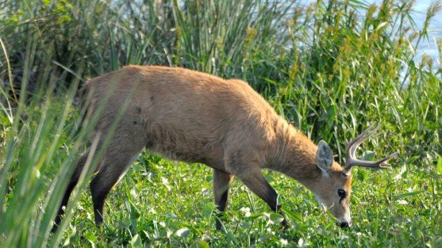El ciervo de los pantanos, el más grande de su especie en Sudamérica, es una de las especies que pueblan los esteros del Iberá. Foto: Fernando Calzada.