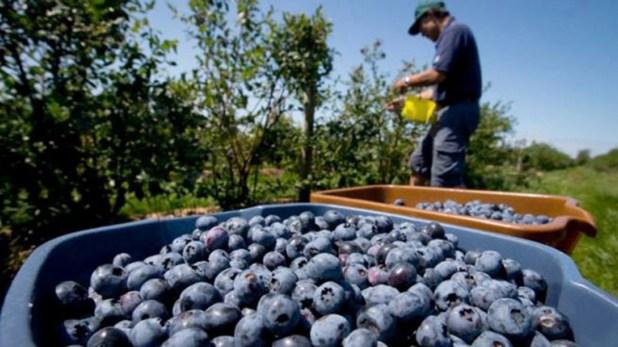 Un fallo a favor de la producción local de Arándanos, permitirá seguir comercializando a los Estados Unidos, uno de los principales mercados para la Argentina.