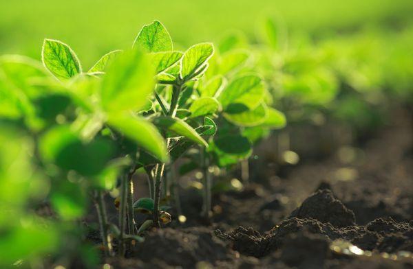 Soja, el cultivo en el que más se utiliza la sustancia