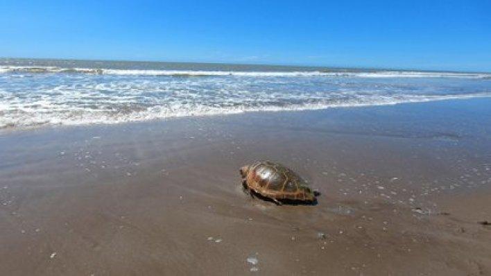 El regreso al mar una tortuga cabezona de 59 kilos que quedó atrapada en redes de pesca. (Mundo Marino)