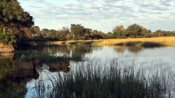 Dos leones hermanos quisieron atravesar un río en Botswana (YouTube)