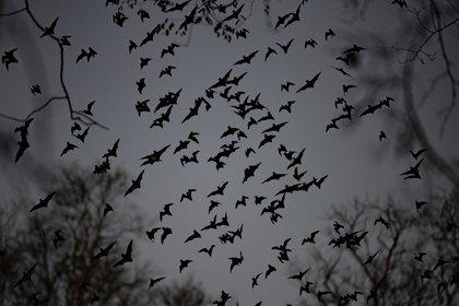 Los murciélagos infectados con el nuevo virus fueron encontrados en una cueva (EFE)