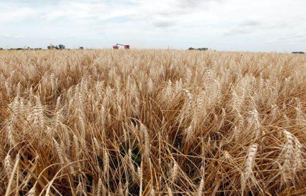 Un campo de trigo en General Belgrano, en la provincia de Buenos Aires (REUTERS/Enrique Marcarian)