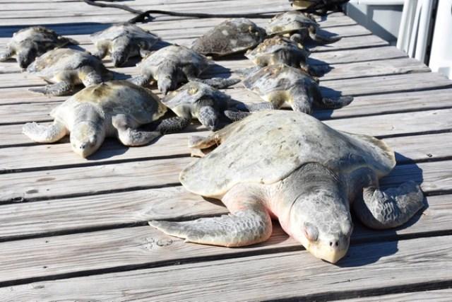 Tortugas aturdidas por el frío en península de St. Joseph (Flickr/Florida Fish & Wildlife Conservation Commission via REUTERS)