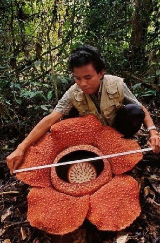 La flor más grande del mundo: hallaron una Rafflesia de más de un metro en  Indonesia | Infocampo