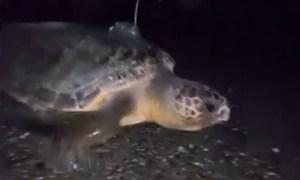 tartaruga_camerota