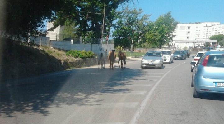 cavalli_ospedale