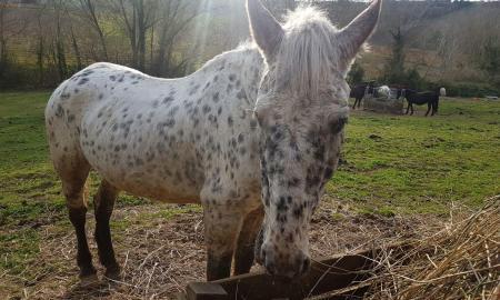 cavallo_montesangiacomo