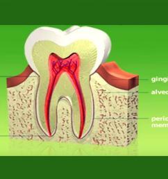 tooth bone diagram [ 1366 x 768 Pixel ]