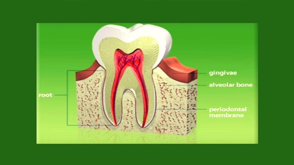 medium resolution of tooth bone diagram