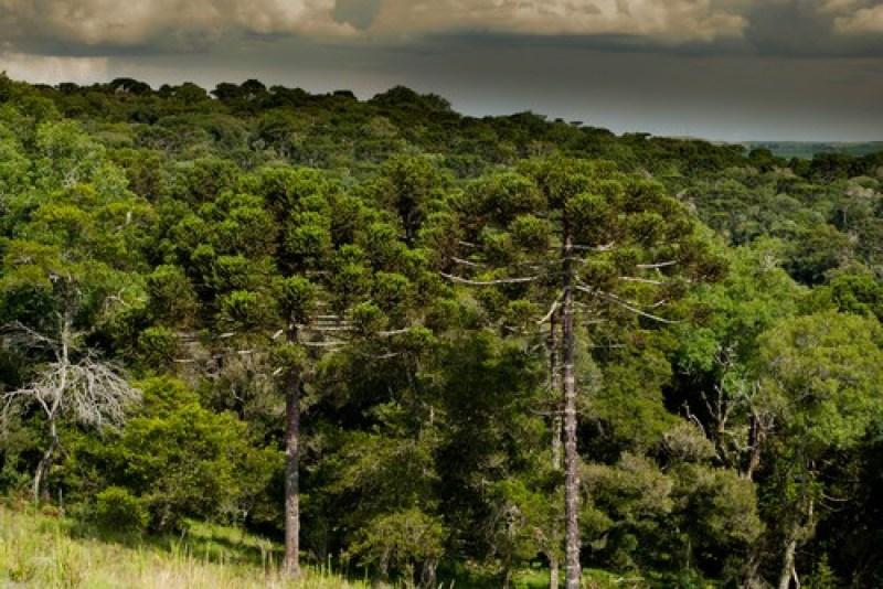 Mata de Araucárias - Biomas - InfoEscola
