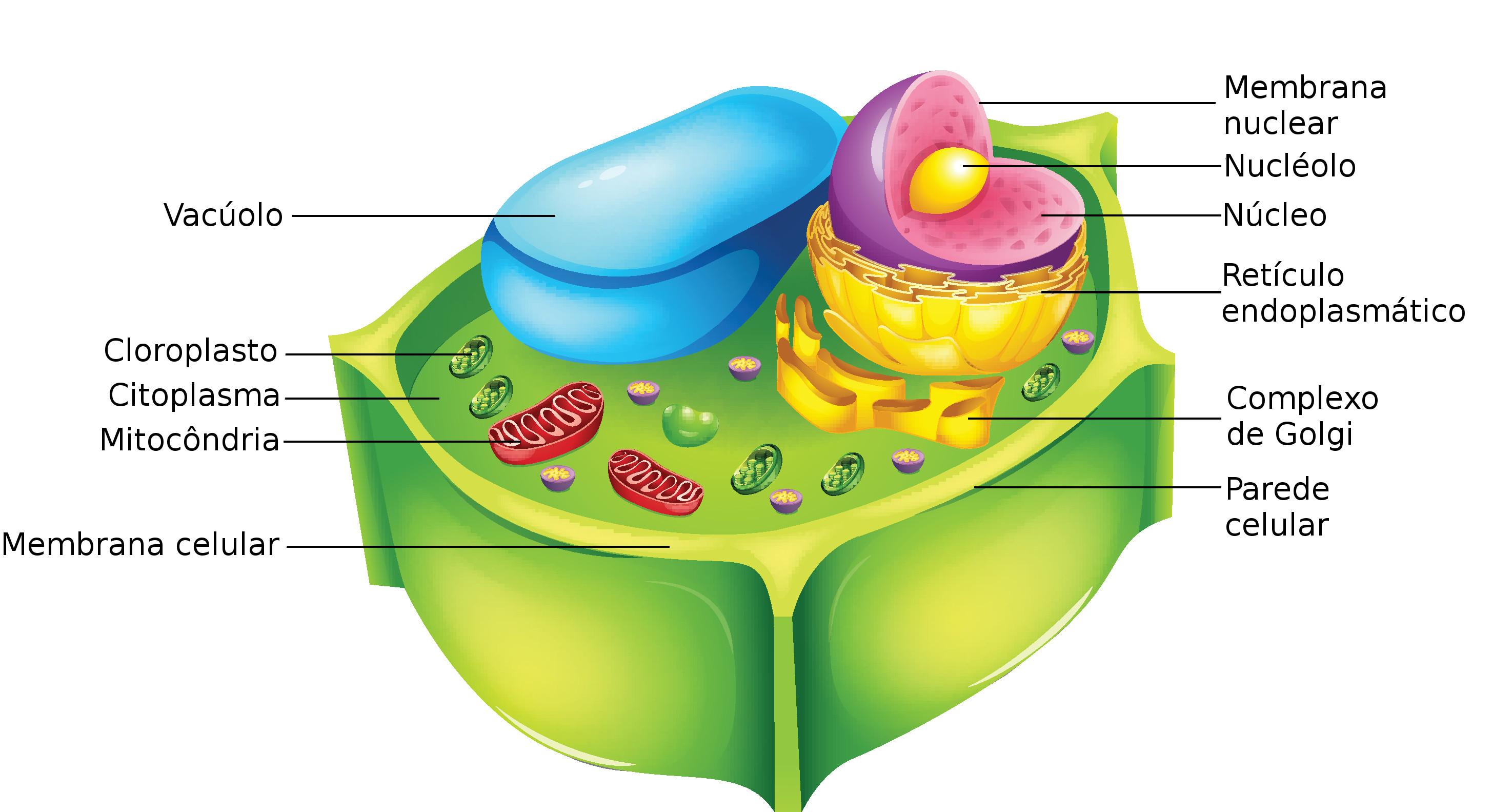 Resultado de imagem para célula vegetal