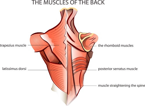 upper arm muscle diagram human of fluid mosaic model cell membrane scapulohumeral rhythm shoulder pain exercises