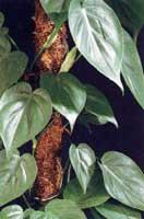 El filodendro, una planta de interior fácil de cuidar y que limpia el aire