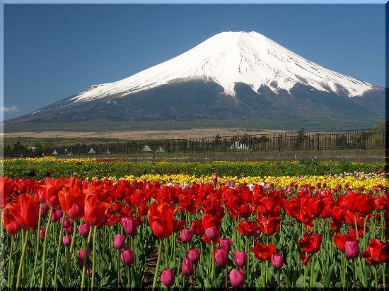 Kebun Bunga Hananomiyako di Gunung Fuji  Info Wisata