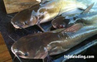 Ways To Start A Profitable Cat Fish Farming Business