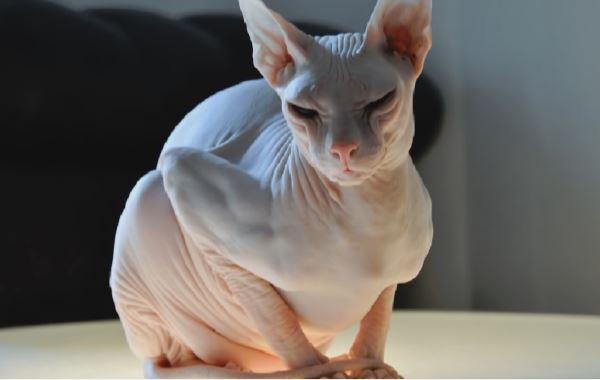 chat sphynx moche