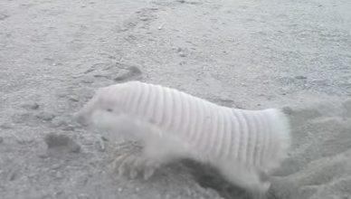 Animal Insolite : Tatou Tronque