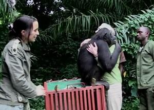 Jane Goodall, una femmina di scimpanzé la ringrazia con un abbraccio perchè le ha salvato la vita. Guarda il video