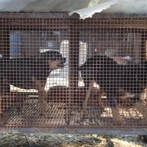Quarto, animali maltrattati tenuti in una struttura abusiva. La Lav si attiva e il Corpo Forestale sequestra tutto. Guarda le foto