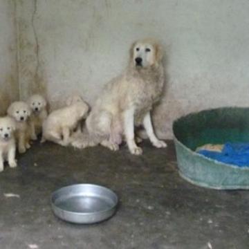 Pozzuoli, scoperto allevamento lager di cani di razza. Denunciato proprietario e tutto il nucleo familiare