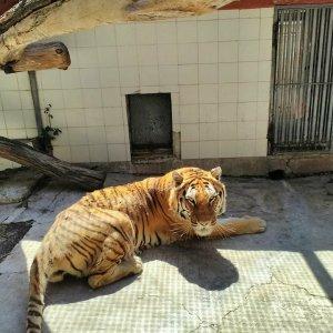 Morta Kashmir tigre dello zoo di Napoli.Per anni ha patito fame e vissuto nelle gabbie della vergona