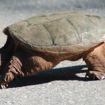 """Pomigliano D'Arco, esemplare di Chelydra Serpertina, o """"tartaruga azzannatrice"""" trovato in villa comunale.  Indagine dei carabinieri forestali per identificare chi lo deteneva illegalmente"""