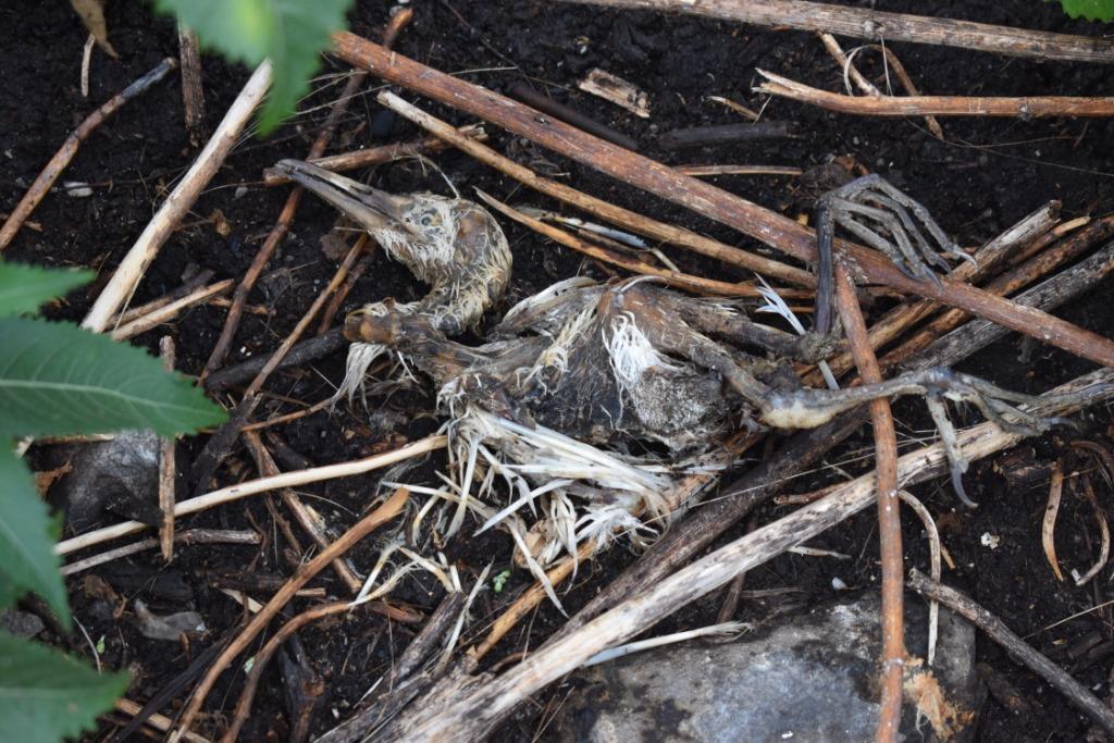 Bird carcass after the floods at Musambwa Island, Uganda Credit: Davis Buyondo