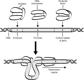 Inheritance: Regulation of Gene Expression in Prokaryotes