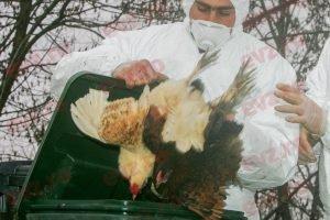 Gripa aviară revine! Ce măsuri iau autoritățile!