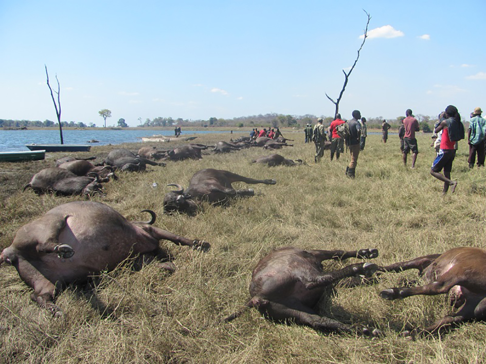 400 buffaloes drown in Chobe River