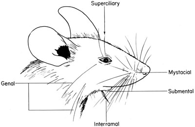 The Anatomy of the Laboratory Mouse