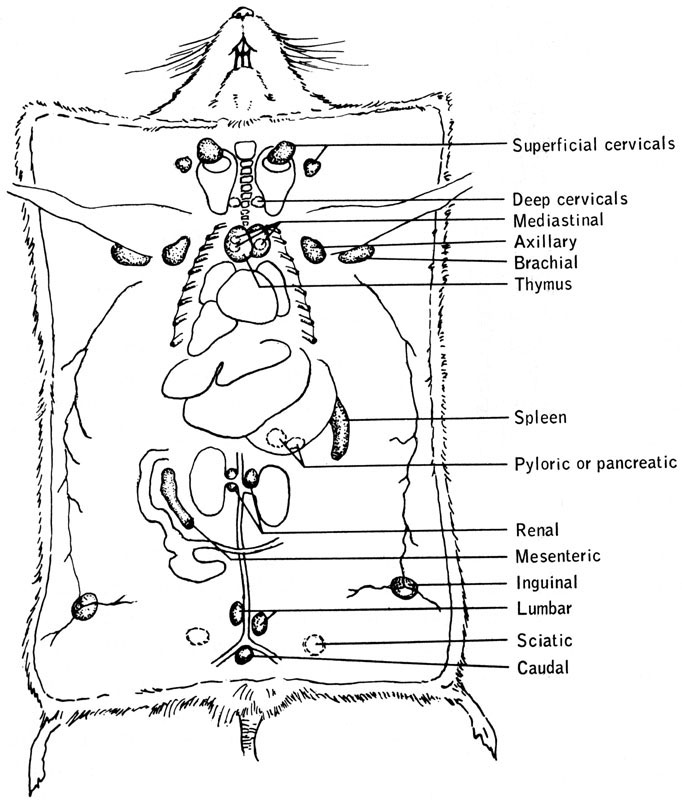 mouse dissection diagram asco 940 wiring mice anatomy schematic biology of the laboratory figure 13 4 thymus lymph nodes