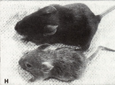 Biology of the Laboratory Mouse  Figure 81