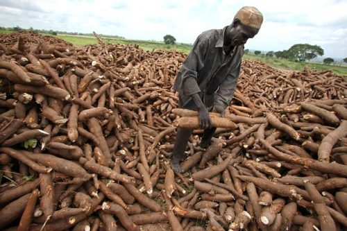 Top Best Cassava Buyers Company's In Nigeria and their Address Details