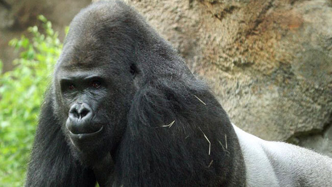 N6.8 Kano Zoo Money: We will not hesitate to arrest a gorilla or anyone involved