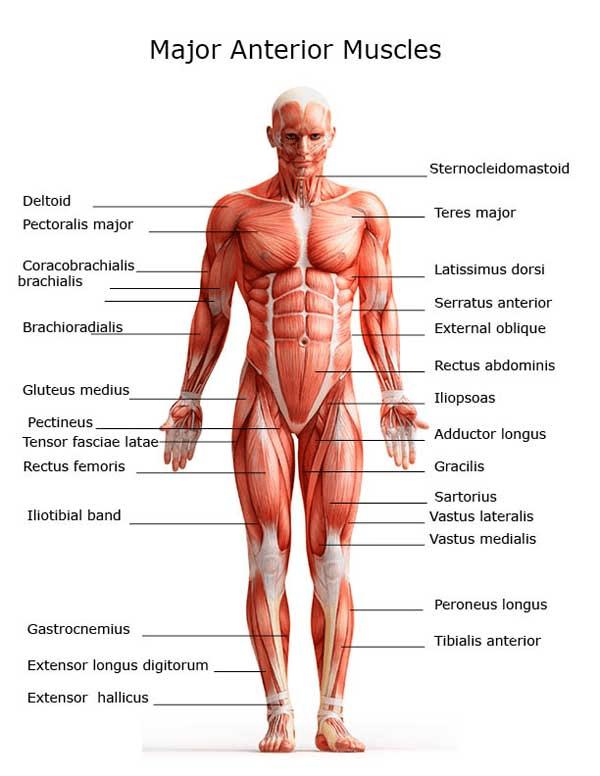 BestDoctorsNetwork-doctors-human-muscles-gallary
