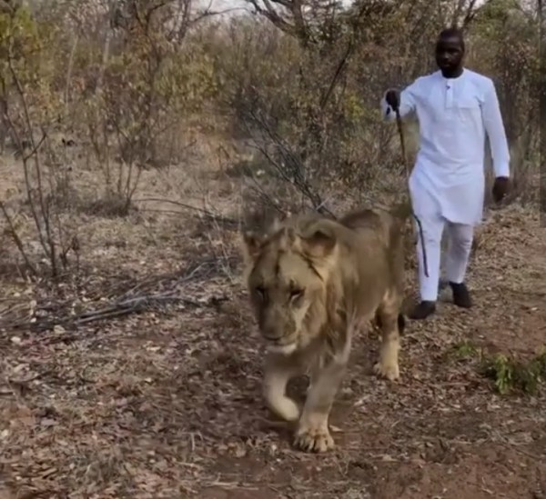 debolalagos strolling with Lion