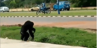 gorilla escape from unilorin zoo