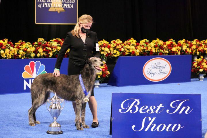 Deerhound won National Dog Show 2020