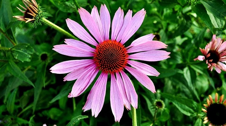 What is Echinacea