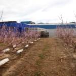 Fruitponic aumenta un 5% el peso de los frutos en la producción frutícola con reducciones hídricas del 30%