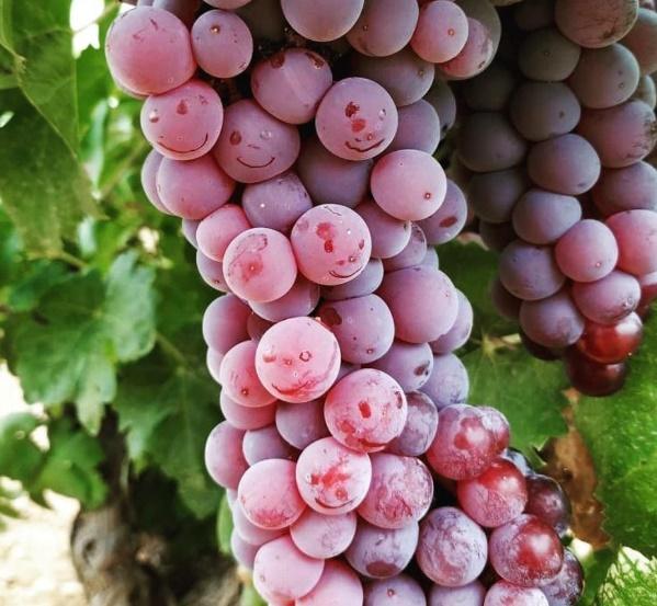 Racimo de uva royal en el momento de la vendimia de 2019.- Img. JC