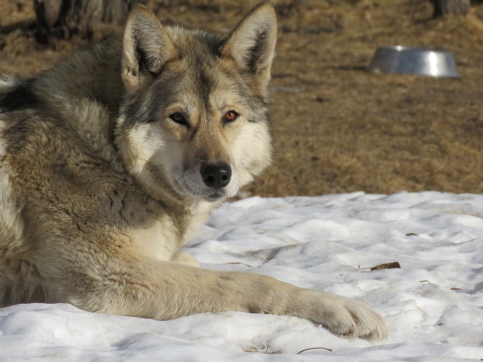 Lupo cecoslovacco il perfetto incrocio fra lupo e cane