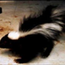 skunk, generic_8944819622667241706