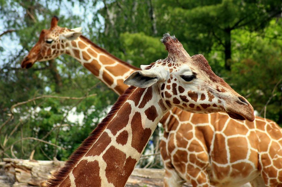 giraffe-4228990_960_720_1560344813403.jpg